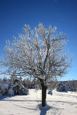 Tree with icy branches against the blue sky — ストック写真