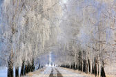 Birch alley covered with rime — Stock Photo