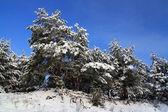 Pokryte śniegiem drzewa w lesie — Zdjęcie stockowe