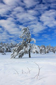 Snow-covered pine in the forest — Stock fotografie