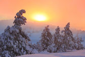 Snow-covered pine in the forest — Stock Photo