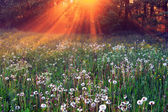 The rays of dawn sunlight illuminate the clearing with wildflowe — Stock Photo