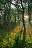 Sun rays in spring forest — Stock Photo