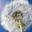 Dandelions at sunrise — Stock Photo #38232305