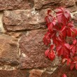 Stock Photo: Wild grapes in autumn on the stone wall