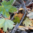 Stock Photo: Autumn leaves in frost