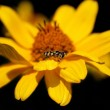 Stock Photo: Daisy flower with a bee