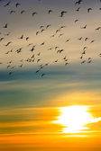 Flock of ducks at sunset — Stock Photo