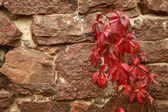 Wild grapes in autumn on the stone wall — Stock Photo