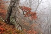 Old tree in fog in autumn — Stock Photo