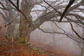 Old tree in fog in autumn — Stock fotografie