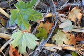 Autumn leaves in frost — Stock Photo