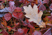 Frost on leaves in cold autumn dawn — Stock Photo