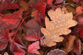 Oak leaves in rime in autumn — Stock Photo