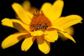 Daisy flower with a bee — Stock Photo