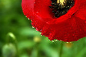 Poppy flower in the dew — Stock Photo