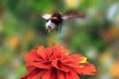 Bumble bee flies from flower calendula — Stock Photo