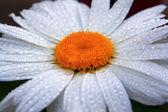 Ромашка в каплях росы — Стоковое фото