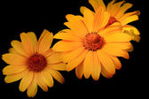 Three yellow daisies — Stock Photo
