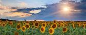 Panorama of sunflowers on the sunset — Stock Photo