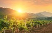 Panorama of vineyards — Stock Photo