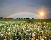 Rainbow over the field with flowers — Stock Photo