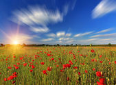 Poppy on the field at summer day — Stock Photo