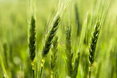 From the wheat in the field. — Stock Photo