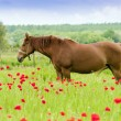 Horses graze in a poppy field. — Stock Photo