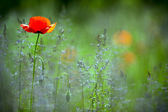 Beautiful red poppy in the green field. — Stock Photo