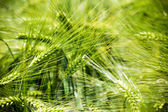 Wheat ears of the arable land. — Stock Photo
