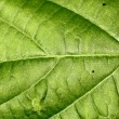 Texture of a green leaf . — Stock Photo