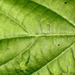 Stock Photo: Texture of a green leaf .