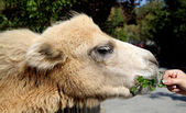 Little camel fed with female hand a parsley — Stock Photo