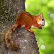 Squirrel sitting in a tree eating a nut — Stock Photo #27901521