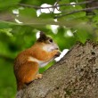Squirrel eating a nut on a tree — Stock Photo #27902235