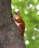 Funny squirrel eats a nut — Stockfoto