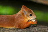 Squirrel eating a delicious nut — Foto Stock