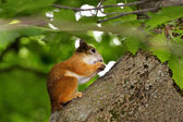 Squirrel eating a nut on a tree — Stock Photo