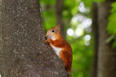 Squirrel eats a nut — Foto Stock