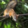 A curious squirrel — Stock Photo