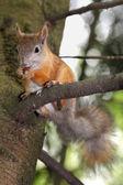 Esquilo em uma árvore — Fotografia Stock