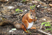 Squirrel sitting on the ground and eats a nut — Stock Photo