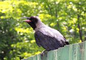 Gray a raven bird — Stock Photo