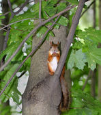 Squirrel sitting with nuts — Stock Photo