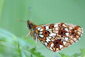 Güzel kelebek — Stok fotoğraf