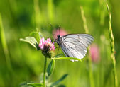 White butterfly sits on a clover — Stock Photo