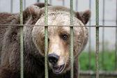 Medvěd hnědý v kleci — Stock fotografie