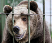 Portrait of a brown bear in a cage — Stock Photo