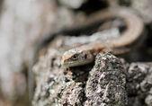 Mały brązowy jaszczurka na drzewie — Zdjęcie stockowe